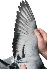 this is what a $400,000 pigeon looks like